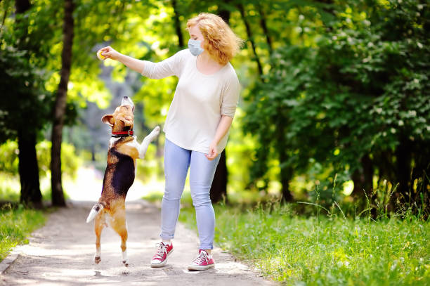Young beautiful woman wearing disposable medical face mask playing with Beagle dog in the park during coronavirus outbreak. Walking of pets. stock photo