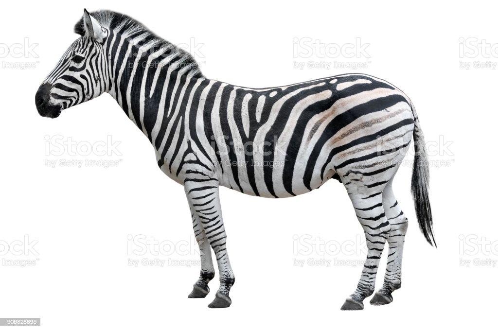Junge schöne Zebra isoliert auf weißem Hintergrund. Zebra hautnah. Zebra Ausschnitt voller Länge. Tiere im Zoo. – Foto