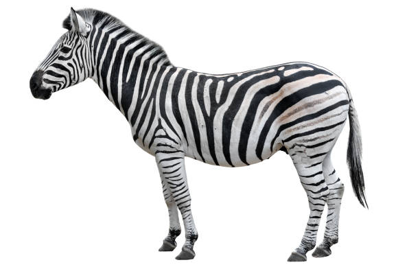 young beautiful zebra isolated on white background. zebra close up. zebra cutout full length. zoo animals. - zebra stock photos and pictures