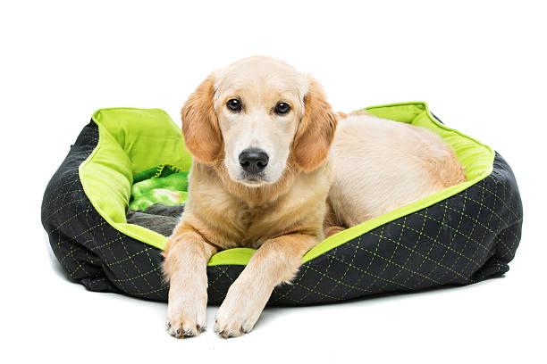 Młody pięknych Złoty do odzyskiwania pies – zdjęcie