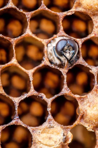 junge biene in waben - eierstich stock-fotos und bilder