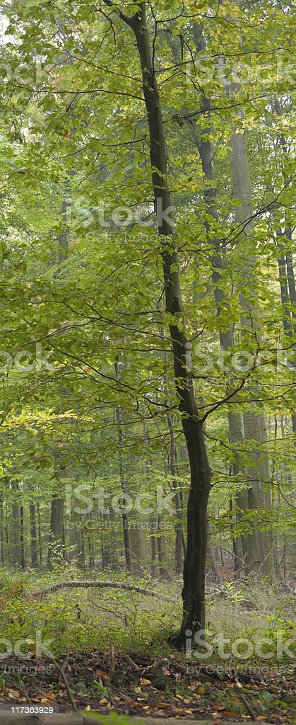 young beech tree royalty-free stock photo