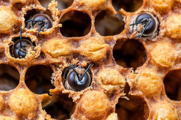 junge bienen in zelle - eierstich stock-fotos und bilder