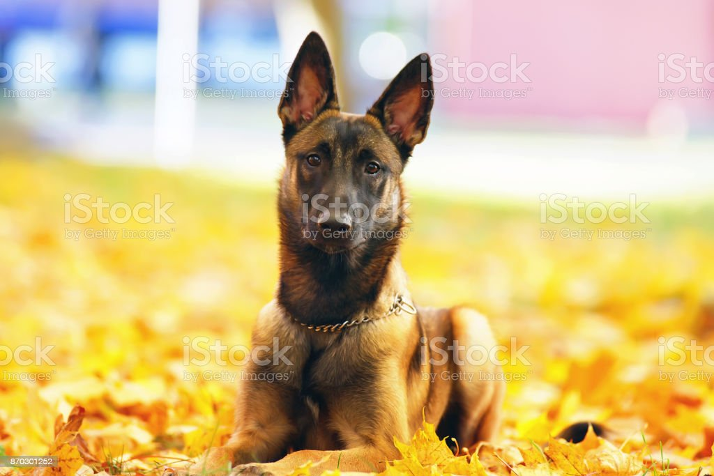 Young Belgian Shepherd dog Malinois lying down in fallen maple leaves in autumn stock photo