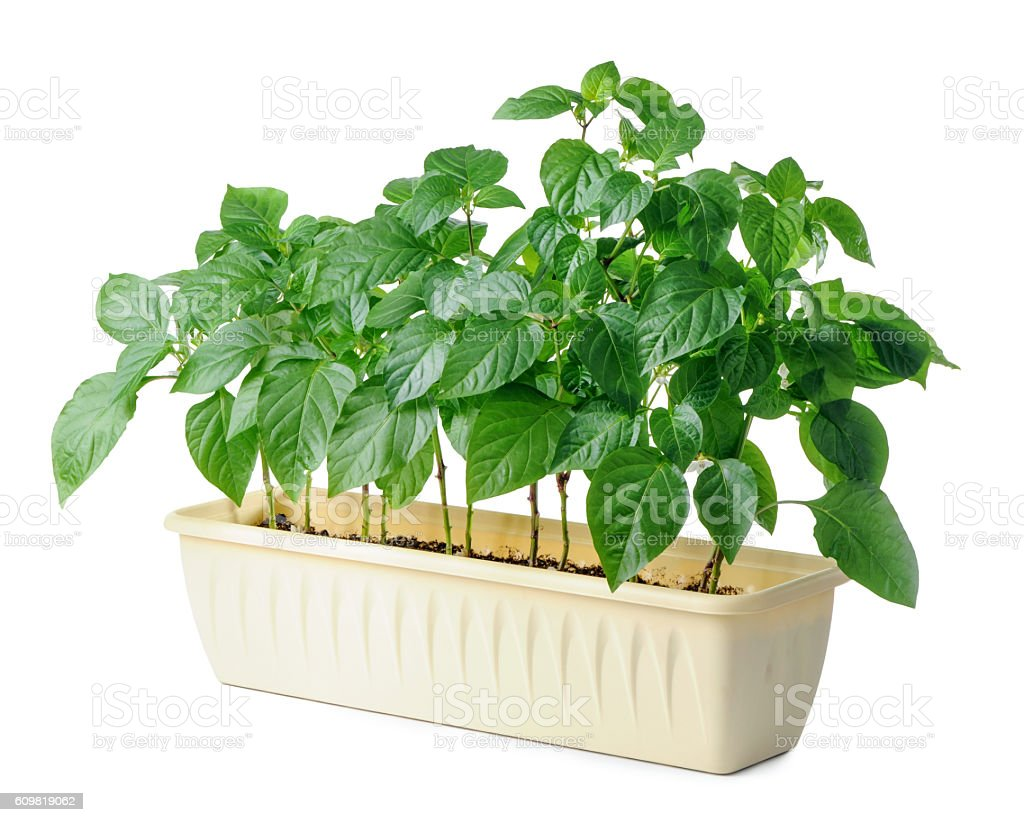 young bell pepper seedling isolated on white background stock photo