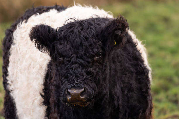 Young Belted Galloway Cattle stock photo