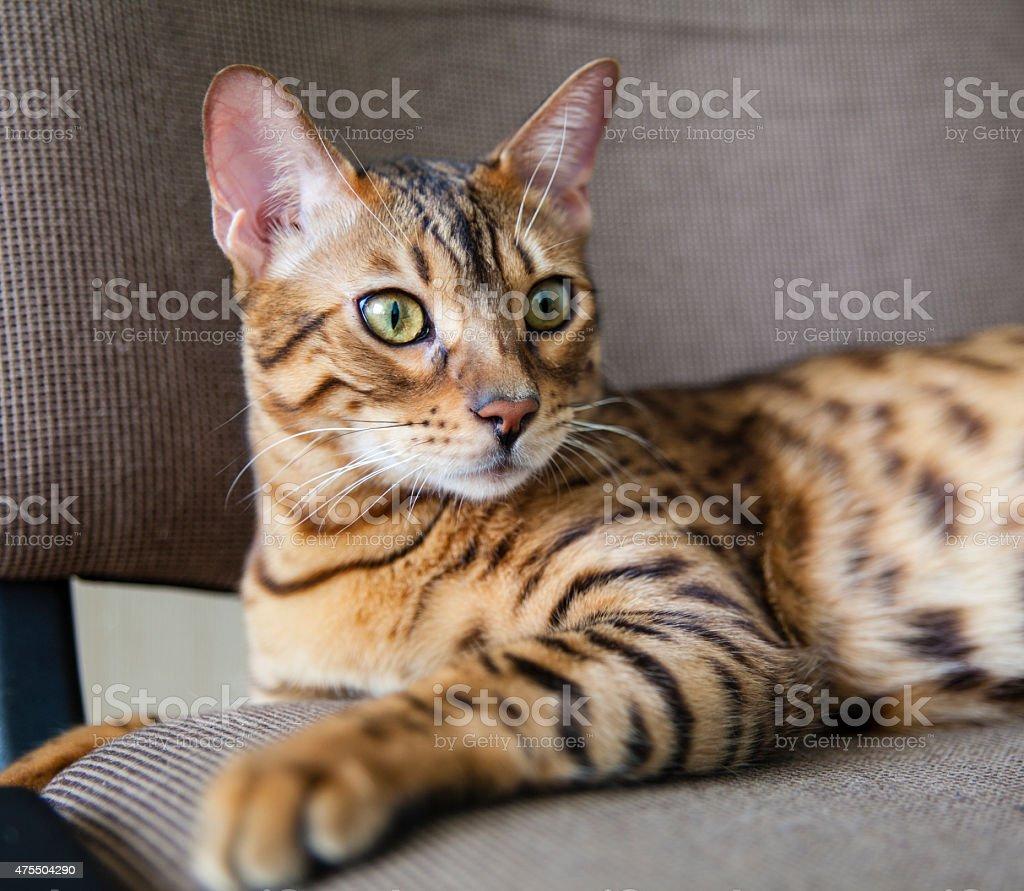 Young Bengal Cat Close-Up Portrait stock photo