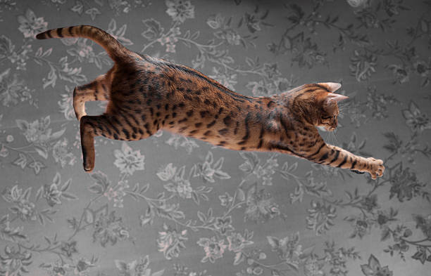 Young bengal cat jumping picture id475636574?b=1&k=6&m=475636574&s=612x612&w=0&h=myepegx2dfe11gah4bzmdzas5pem7cltrqdz6ogbiiw=