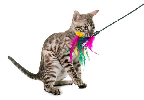 Young bengal cat playing picture id599250684?b=1&k=6&m=599250684&s=612x612&w=0&h=gbuu6omjcxbmyjlfayegi4mkedhlno w077dfotzshe=