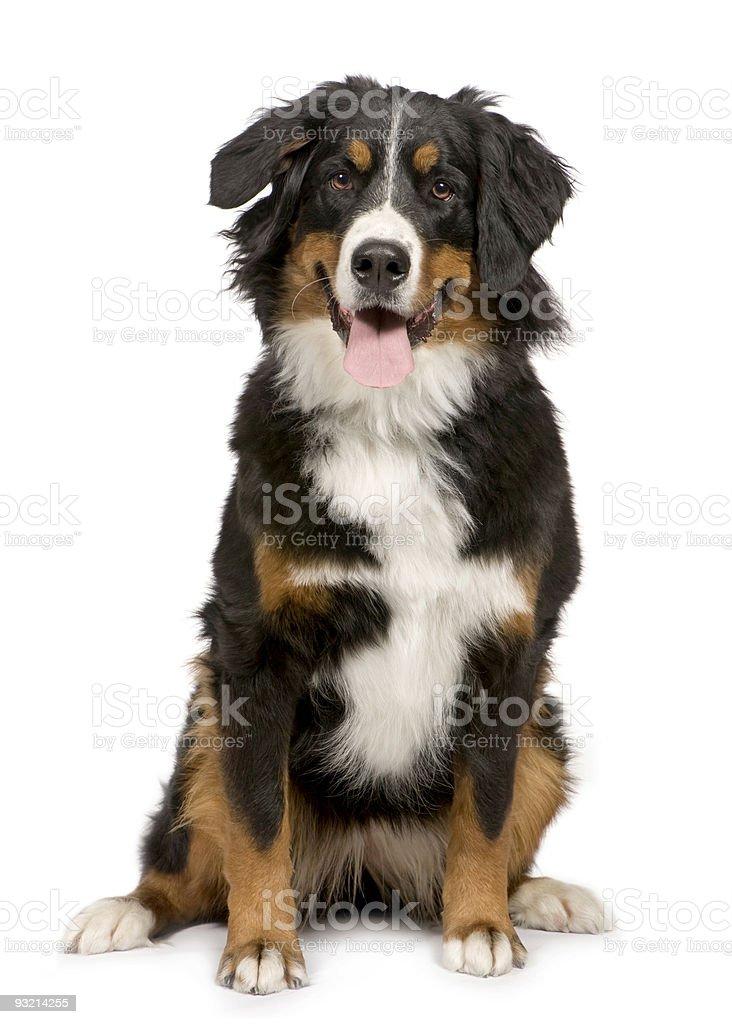 Young Bernese mountain dog sitting stock photo