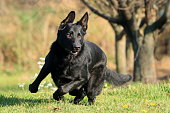 Young big black dog (German Shepherd) gallop outside across garden (park, meadow) maybe behind the cat, hare, rabbit or ball. Because his run is fast, his paws are in the air. Action and humour scene.