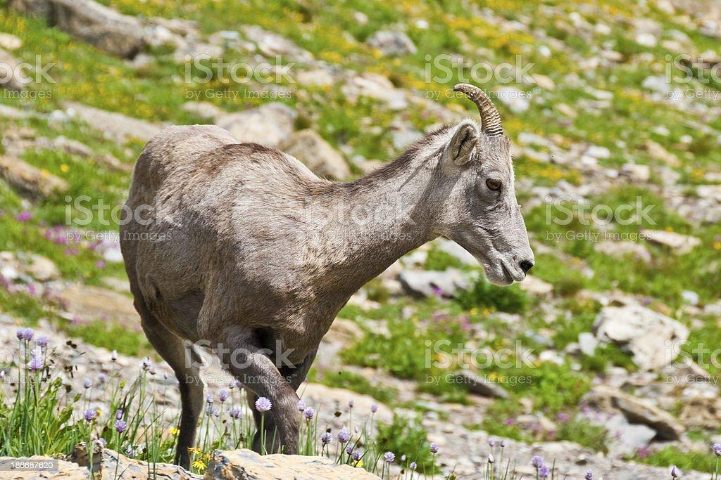Young Bighorn Ewe royalty-free stock photo