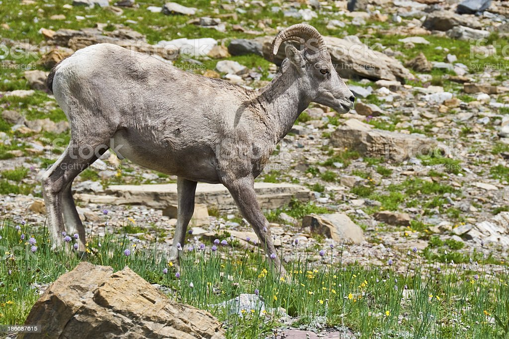 Young Bighorn Ram royalty-free stock photo