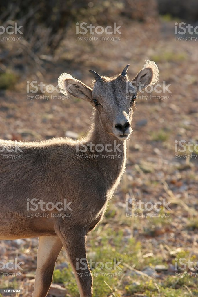 young bighorn sheep, backlit royalty-free stock photo