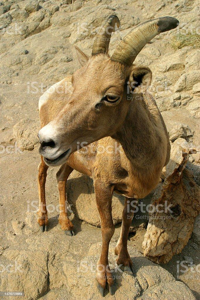 Young Bighorn Sheep royalty-free stock photo
