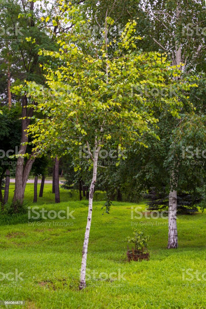 Young birch in the park - Royalty-free Beauty Stock Photo