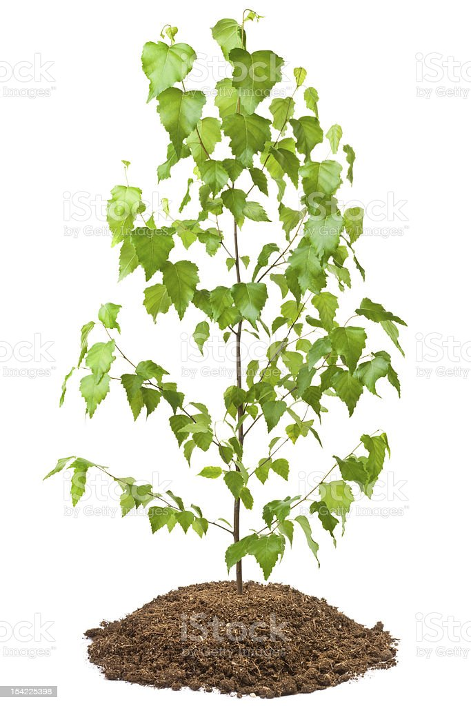 Young birch tree royalty-free stock photo
