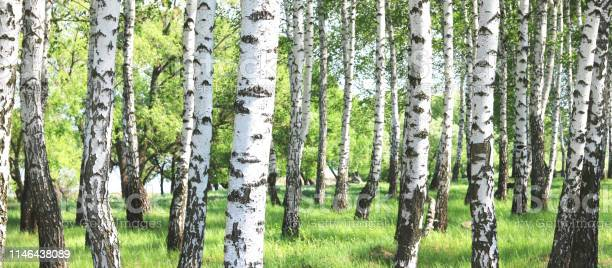 Photo of Young birch with black and white birch bark in spring