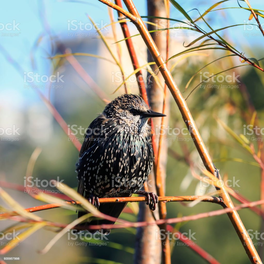 young bird black Starling flew on a branch in the Park in early spring stock photo