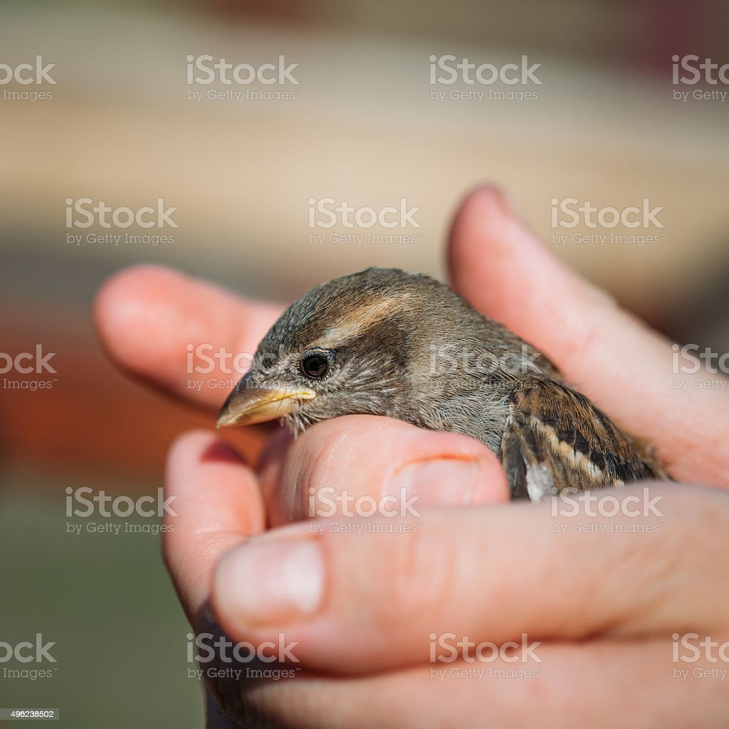 Young Bird Nestling House Sparrow - Passer Domesticus stock photo