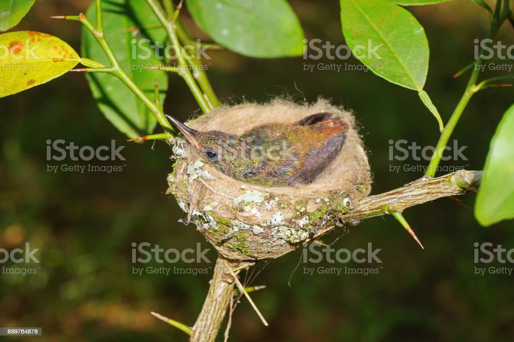 Young bird of rufous-tailed hummingbird in the nest, Panama, Central...