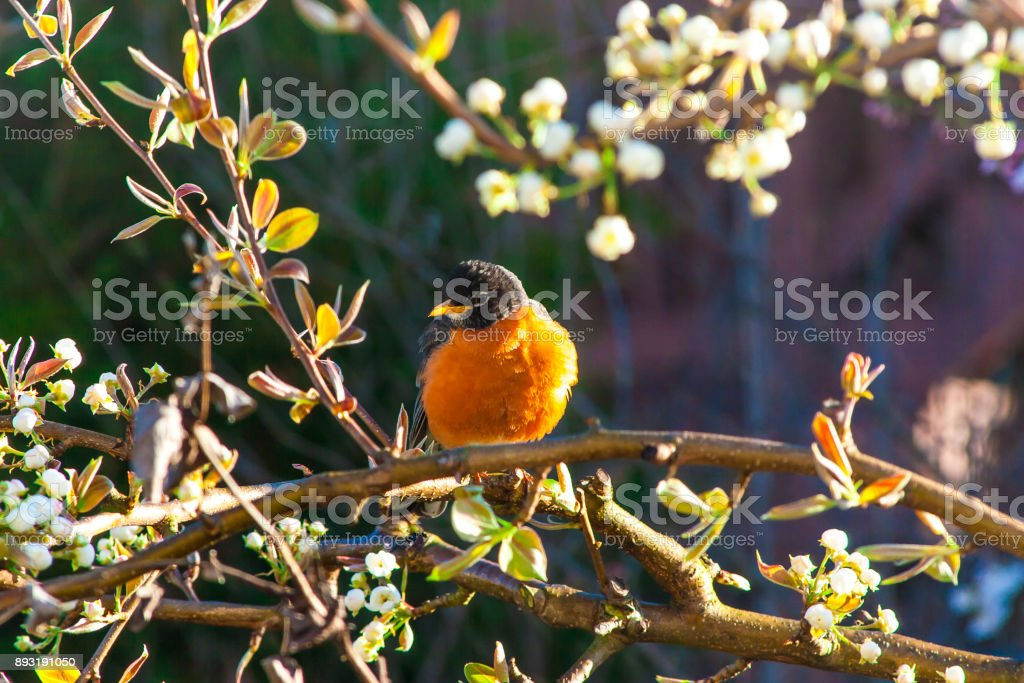 Young bird (american robin) on a tree at spring. stock photo