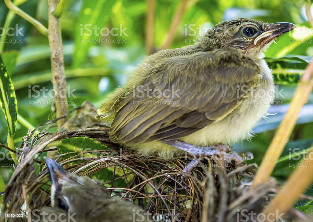 Young birds in the nest royalty-free stock photo