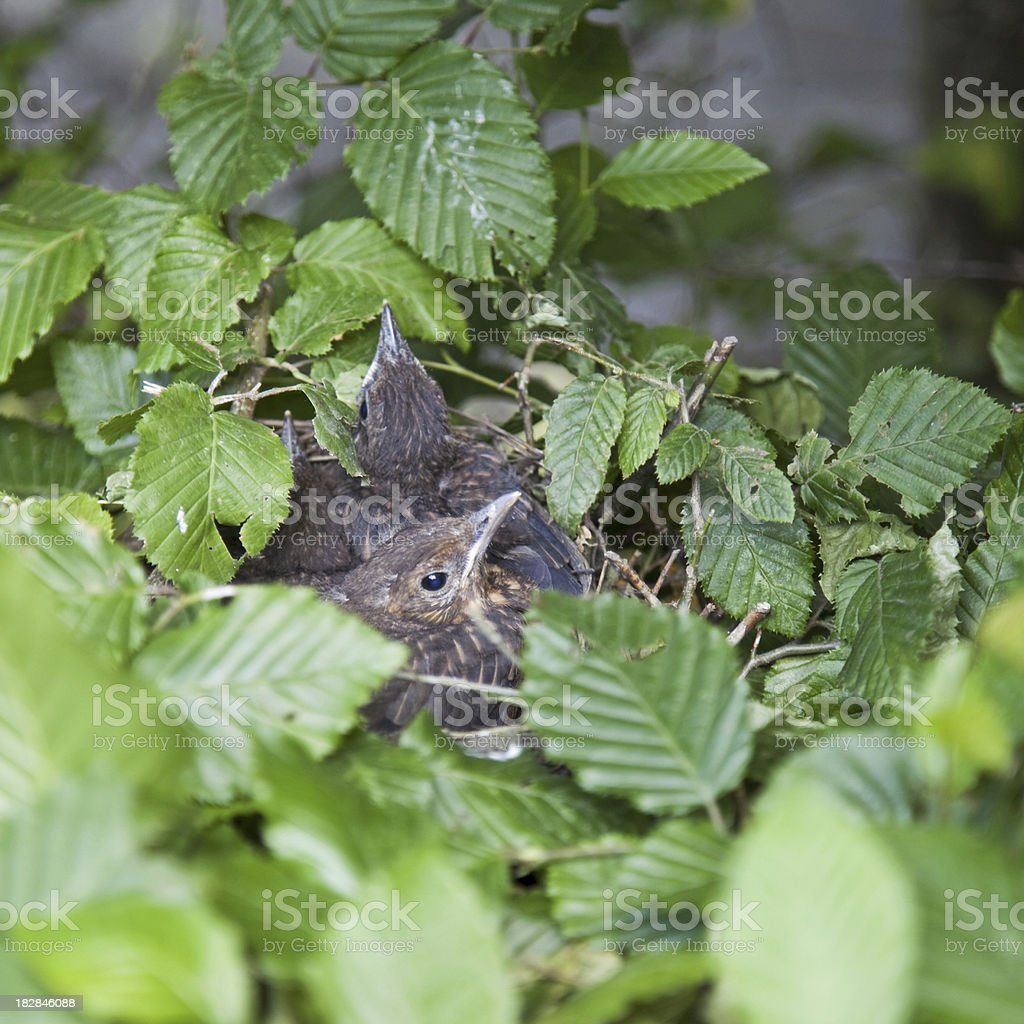 Young birds # 2 XL royalty-free stock photo