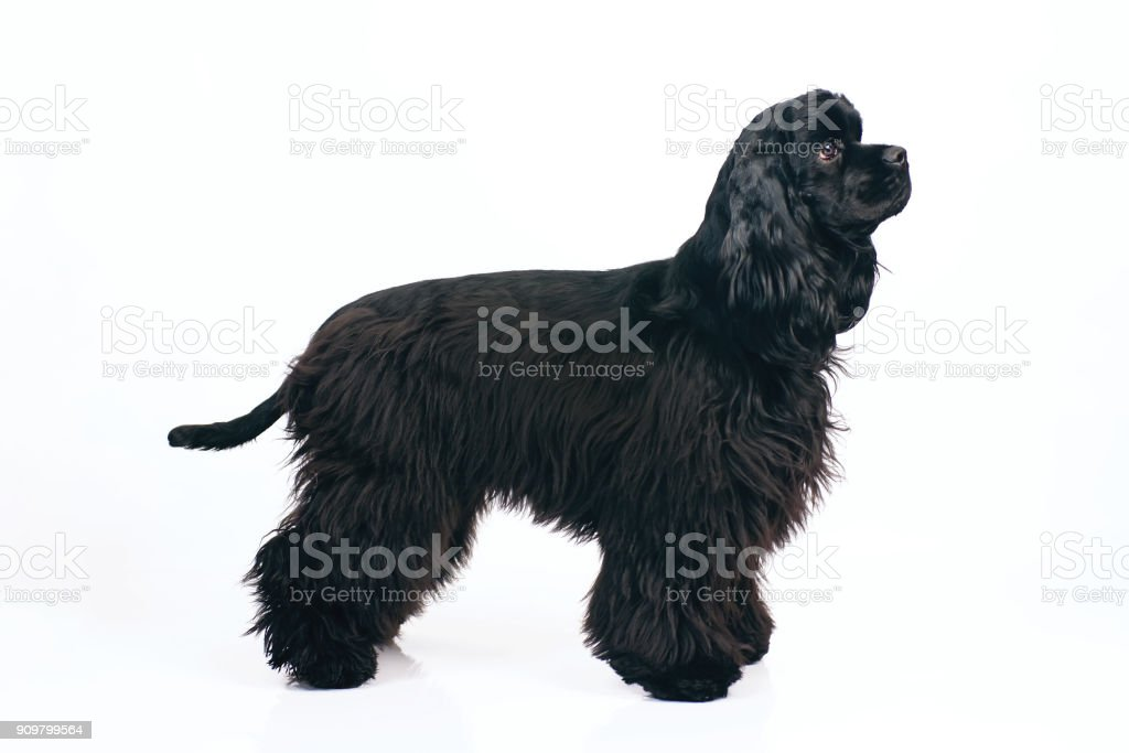 080d0a875499 Young Black American Cocker Spaniel Dog Staying Indoors On A White ...
