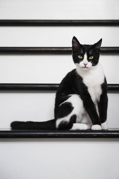 A Young Black and White Cat on Black and White Stairs stock photo