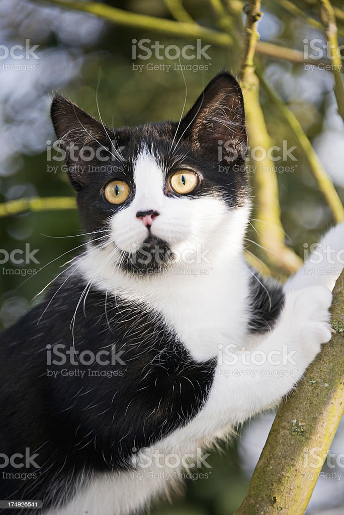 Young black and white cat stuck climbing a tree royalty-free stock photo