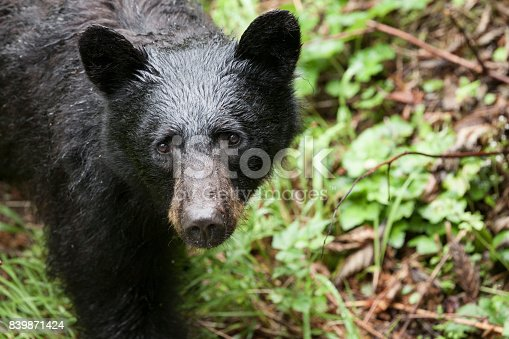 A young Black Bear cleanses its palate after finishing a meal of pink salmon at the Fish Creek Wildlife Observation Site, Hyder Alaska