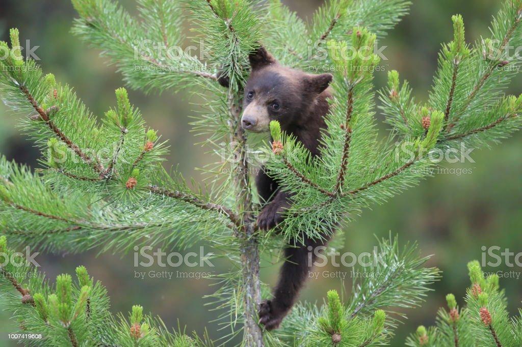 Young black bear  Kanada stock photo