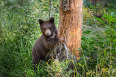 Young Black Bear Peers Around Bare Tree