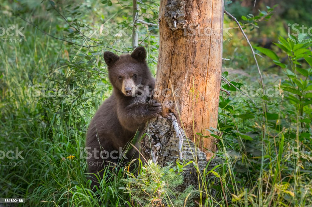 Young Black Bear Peers Around Bare Tree stock photo