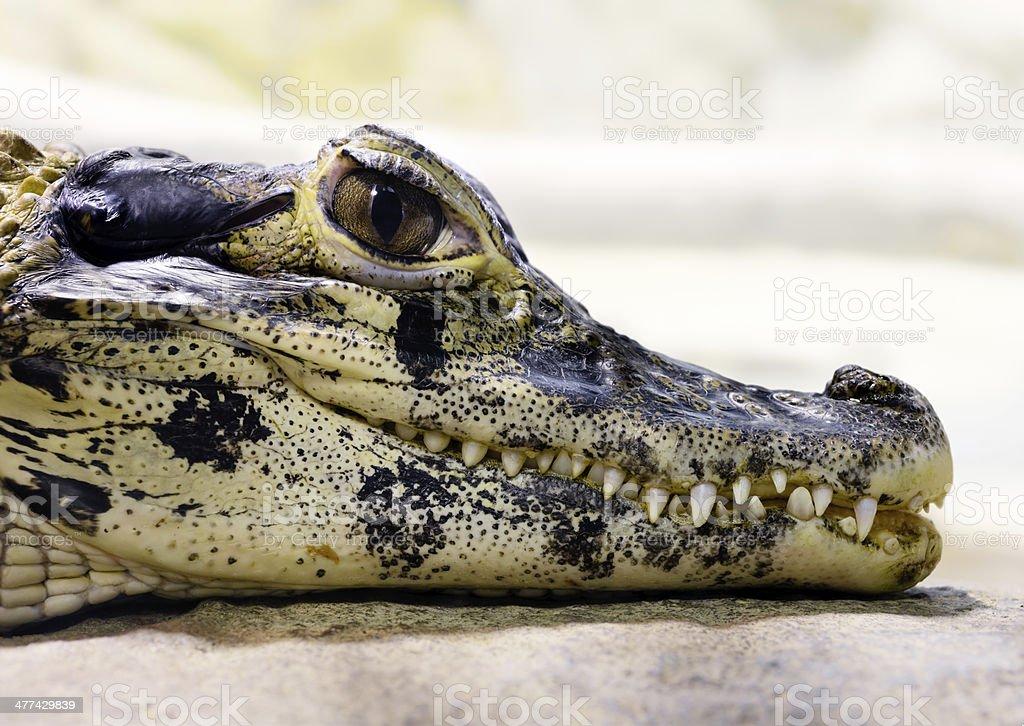 Young black caiman (Melanosuchus niger) royalty-free stock photo