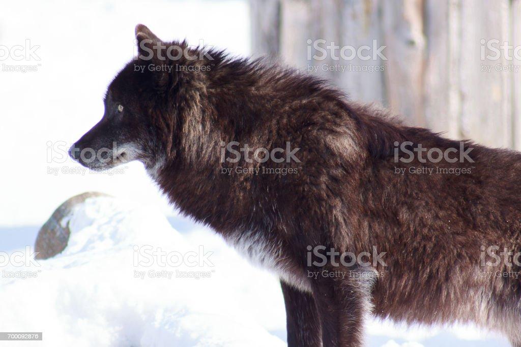 Jovem negro canadense lobo olha por sua presa. - foto de acervo
