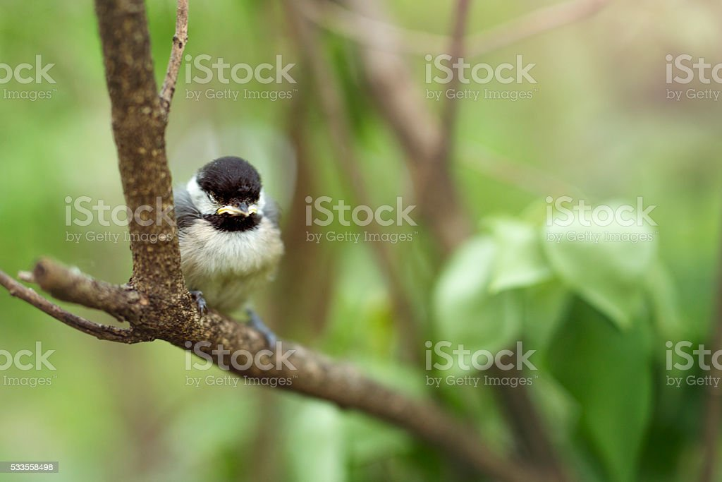 Young Black Capped Chickadee stock photo