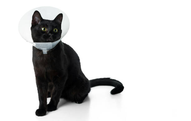 Young black cat in a protective veterinary collar isolated on white picture id1161764196?b=1&k=6&m=1161764196&s=612x612&w=0&h=owxelcb0rse0d8lj8ki6i0qiidwhwmwa0tvxp3aiv8o=