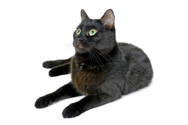 Young black cat lying on a white background picture id909695414?b=1&k=6&m=909695414&s=612x612&w=0&h=ymxggklordty7vekilduipikcxxb3d5xc 7yh6luz8o=