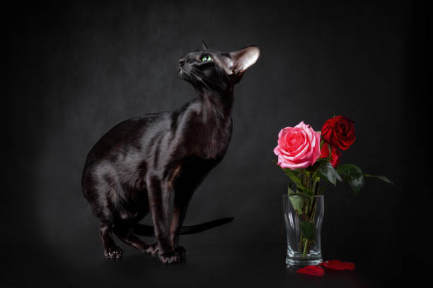 Young black cat of oriental breed sitting near red rose bouquet picture id1283922098?b=1&k=6&m=1283922098&s=612x612&w=0&h=c9dljcmtped6hlkpbbhee4zs94ze zjwdr7k3dqt9hg=