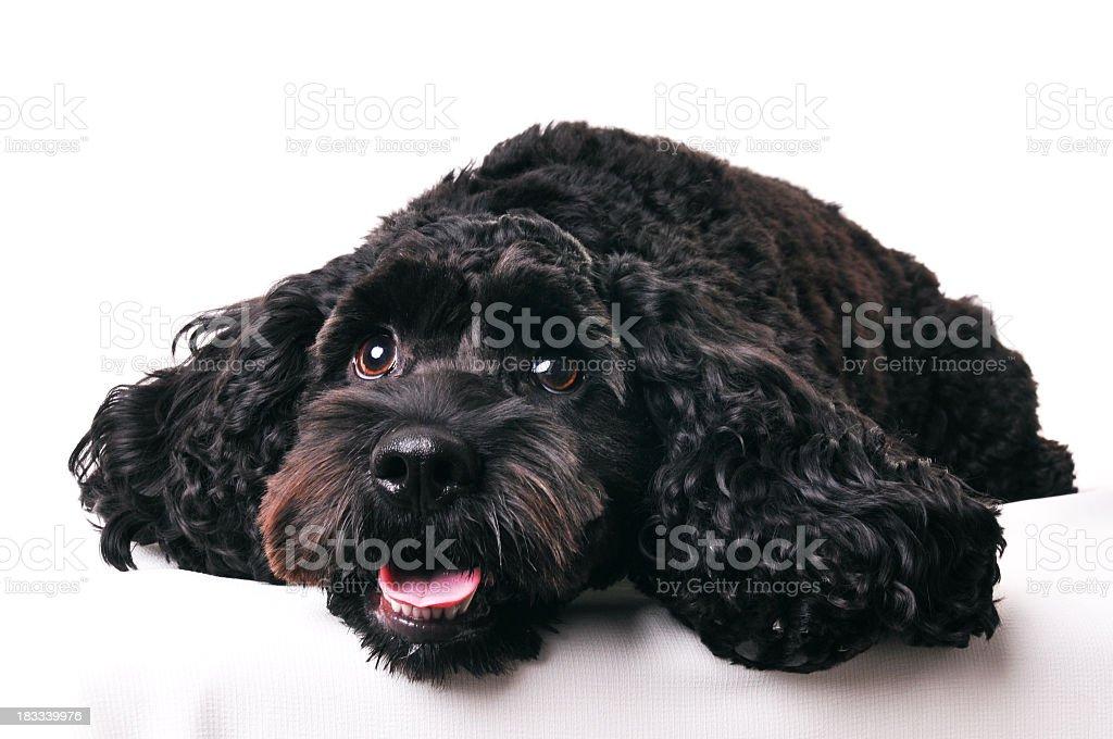 Young black cockapoo dog on white background. stock photo