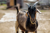Young black goat on the farm. Horned goat. Close up.