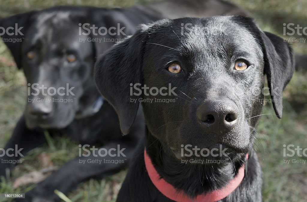 Young Black Labrador Retriever with Old Lab in background royalty-free stock photo