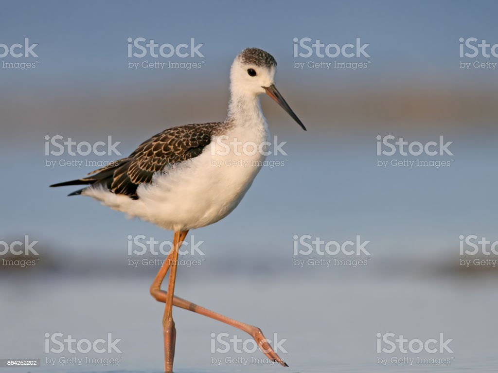 Young black winged stilt walking on the water. Close up and detailed view royalty-free stock photo