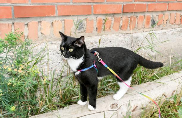 junge schwarz-weiße katze spaziert am kabelbaum an den holzbalken entlang der mauer im sommer. - katzengeschirr stock-fotos und bilder