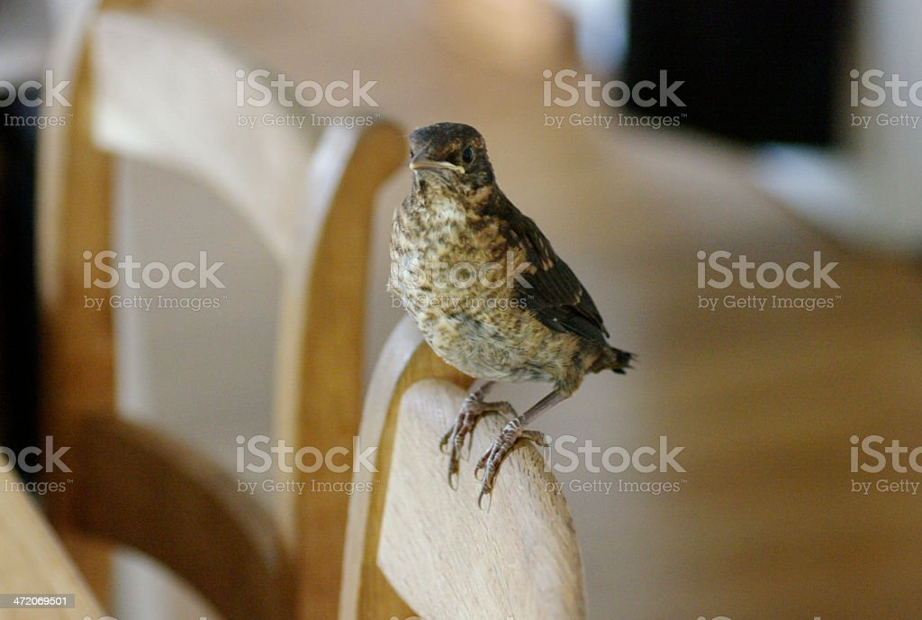 Young blackbird in the house royalty-free stock photo