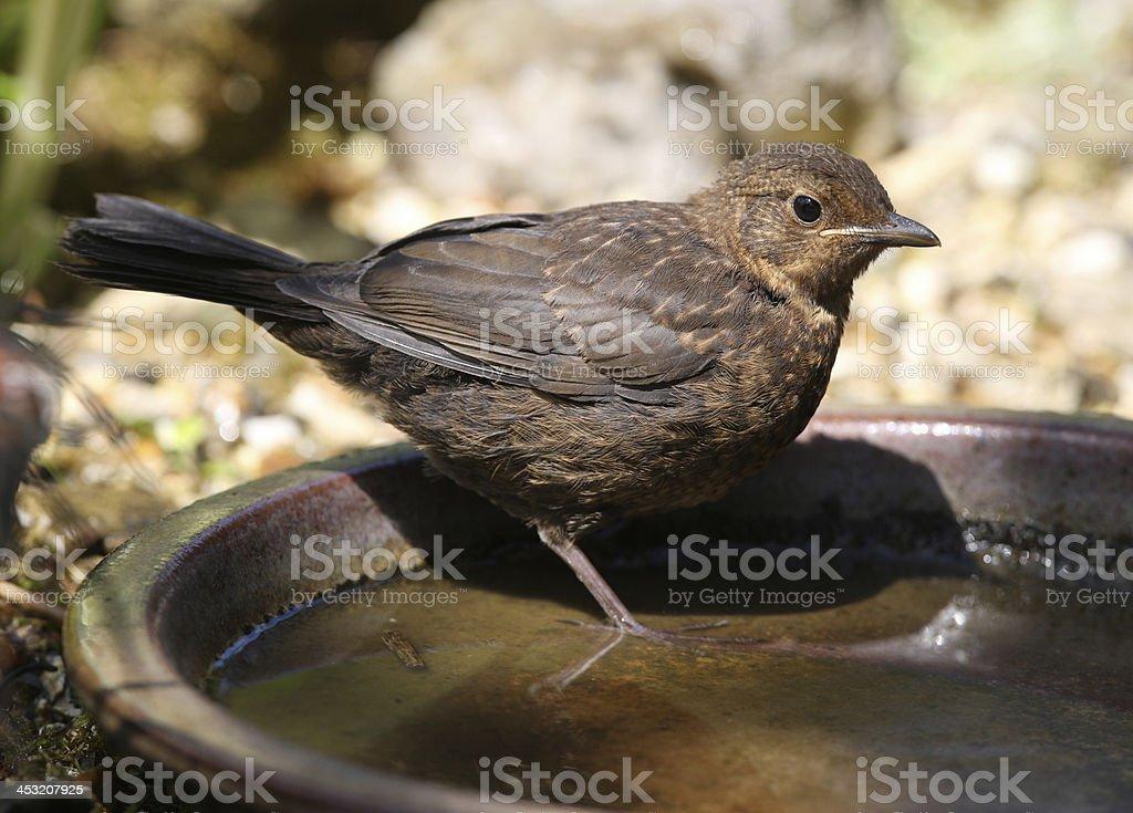 Young Blackbird royalty-free stock photo