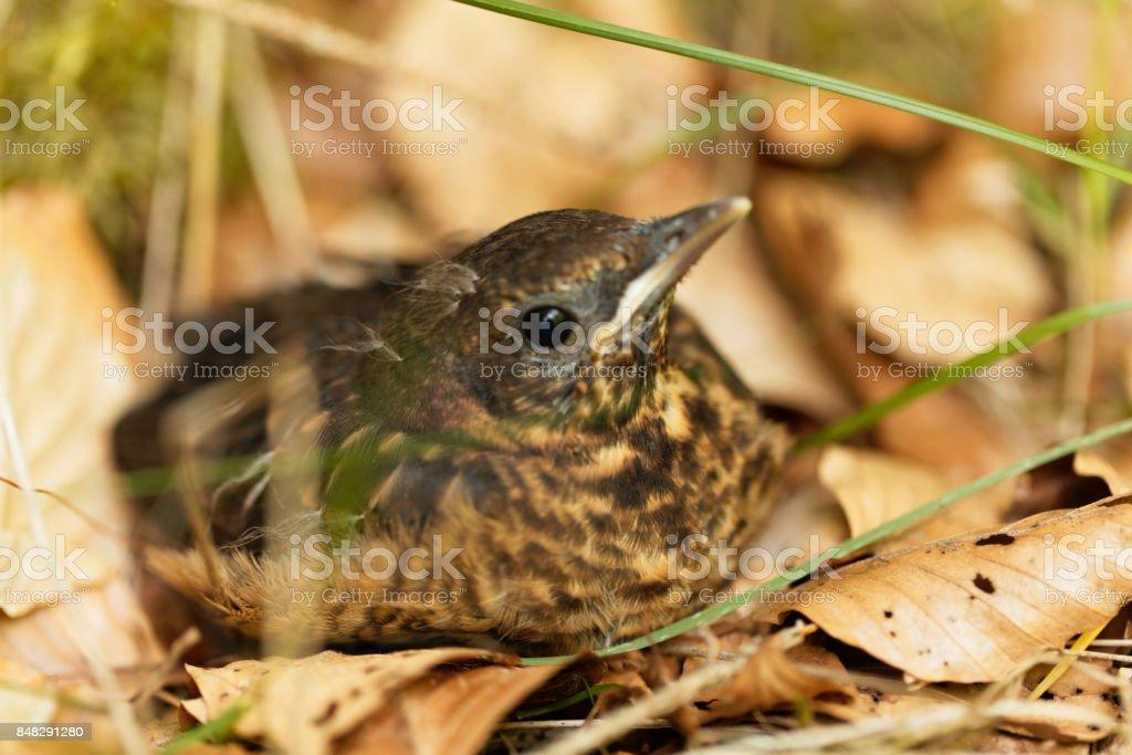 Young Blackbird (Turdus merula) stock photo