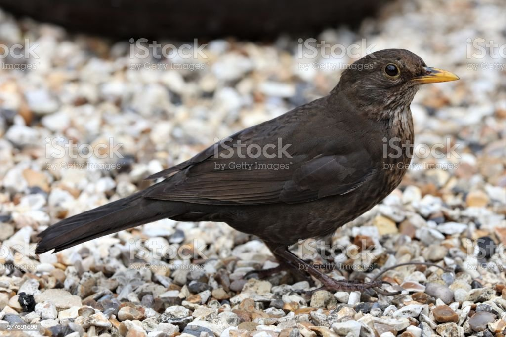 Young Blackbird stock photo